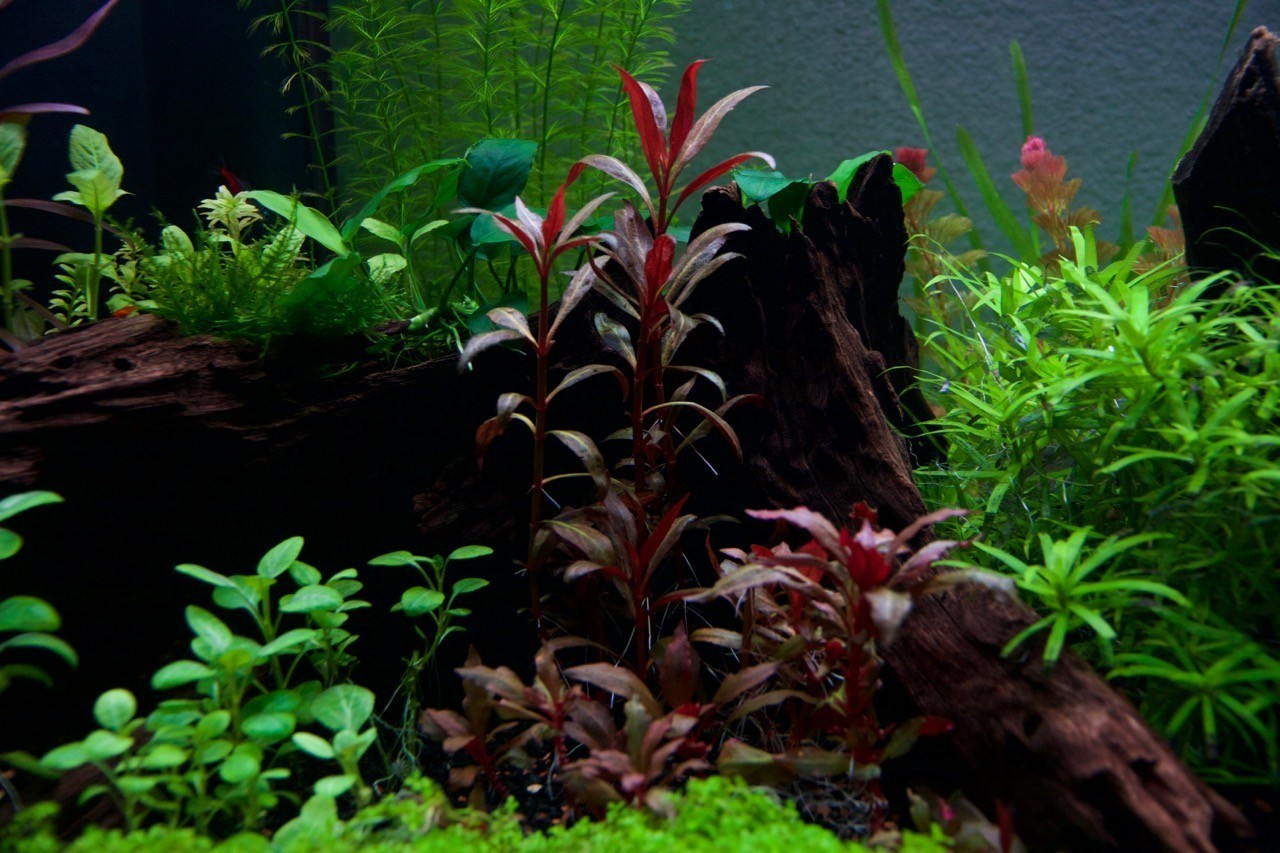 From this pic below you can see the red Cabomba Furcata in the back pretty much the same height in 2 weeks (yes it is stuck). And light shouldnu0027t be a ... & Fablau 75 gallon tank | Page 9 | Barr Report Forum - Aquarium Plants