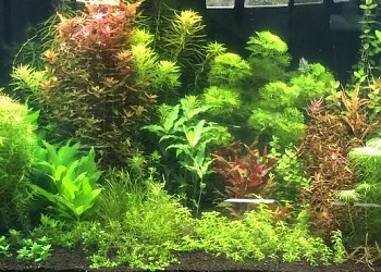 Tall Plants On Either Ends With Short Plants In The Middle. This Is A  Component Of Nature Aquarium Style Pioneered By Takashi Amano.