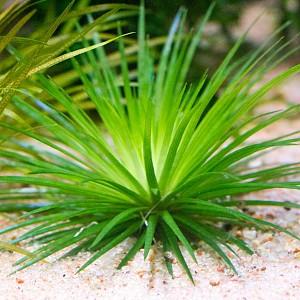 Aquarium Plant Database | Barr Report Forum - Aquarium Plants
